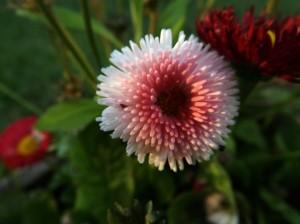 Fleur_blanche_et_rose
